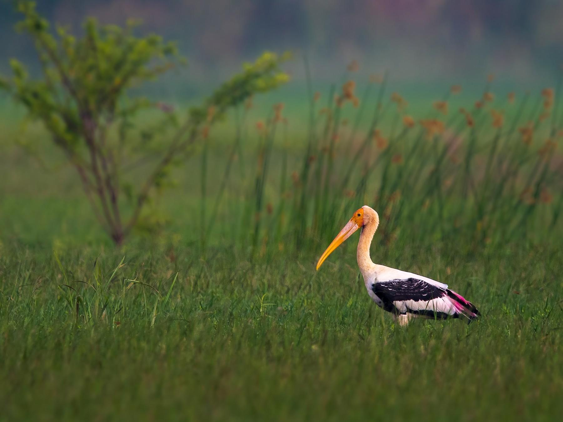 Painted Stork - Sivaguru Noopuran PRS