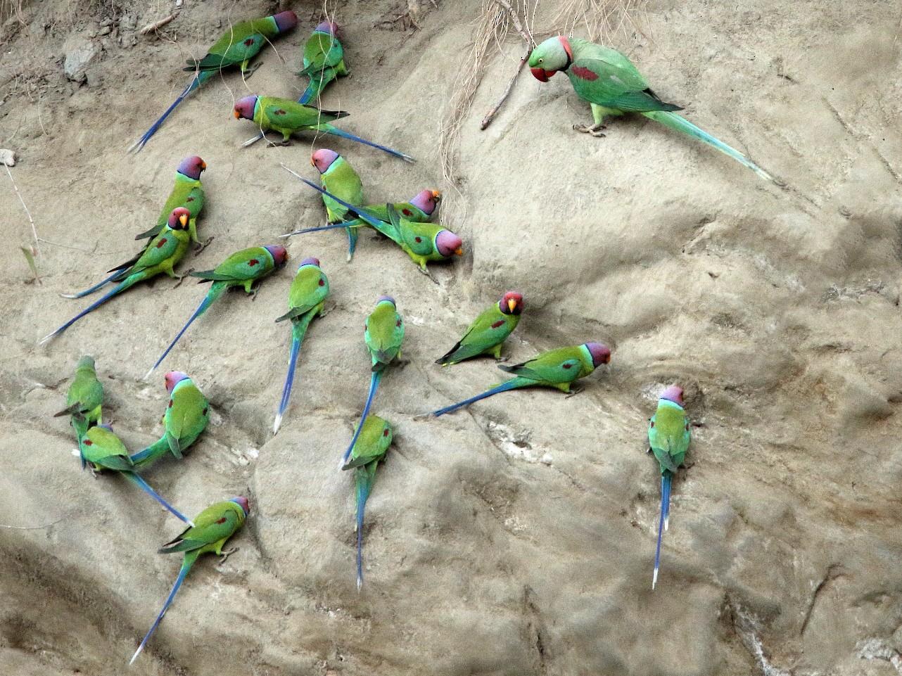 Plum-headed Parakeet - Martjan Lammertink
