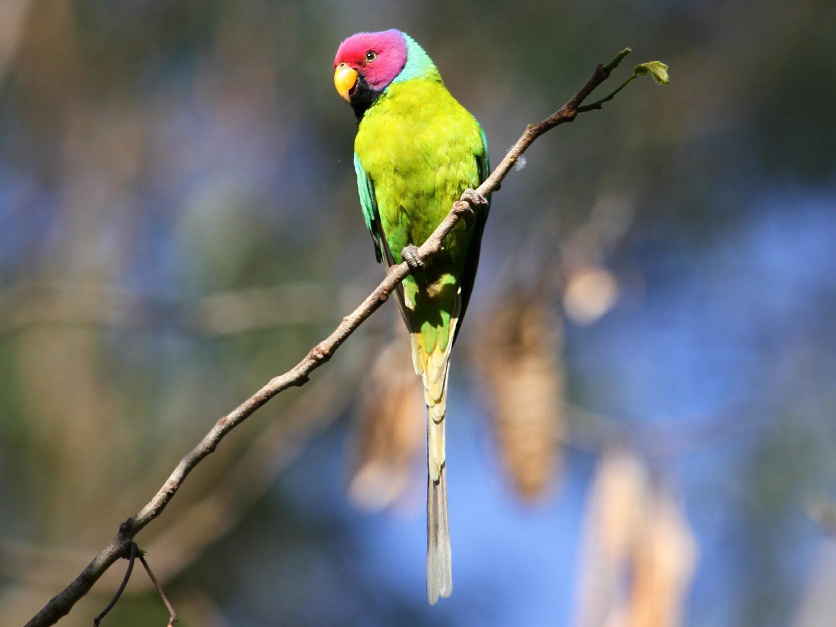 Plum-headed Parakeet - Neeraj Sharma