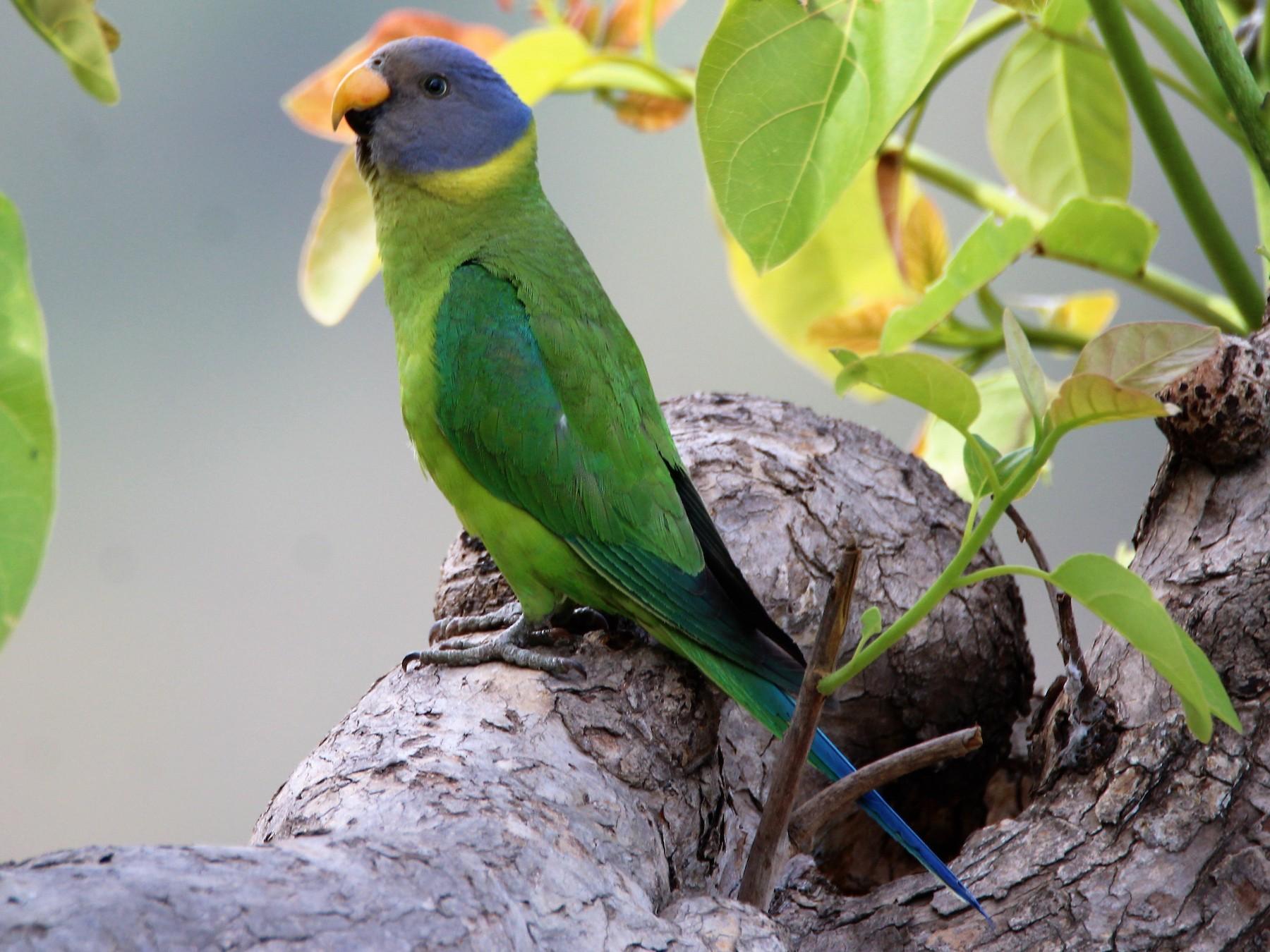Plum-headed Parakeet - Sudhir Reddy