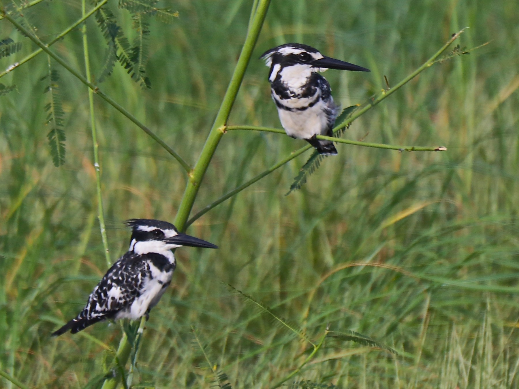 Pied Kingfisher - Rick&Peggy Price