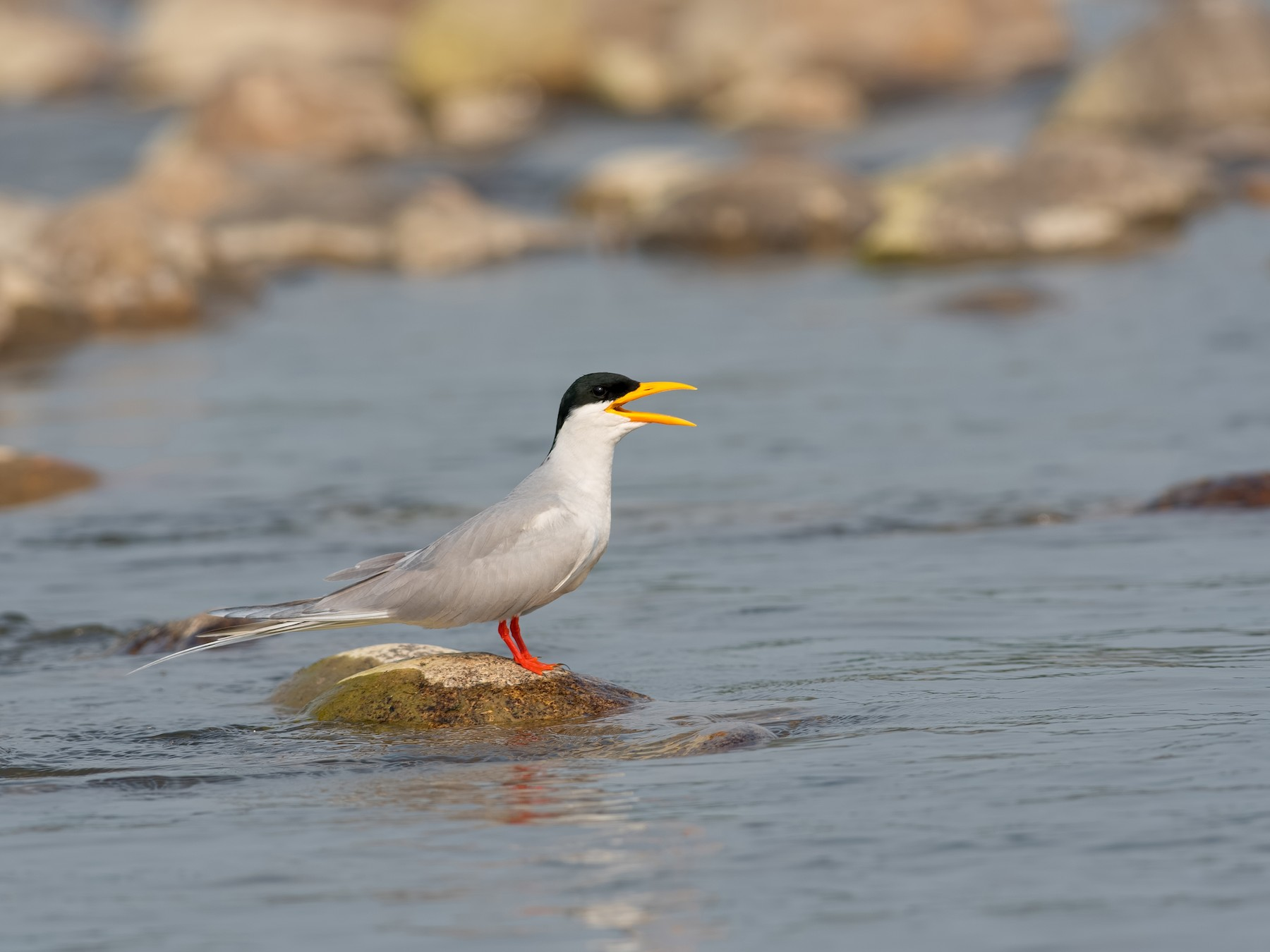 River Tern - Shailesh Pinto