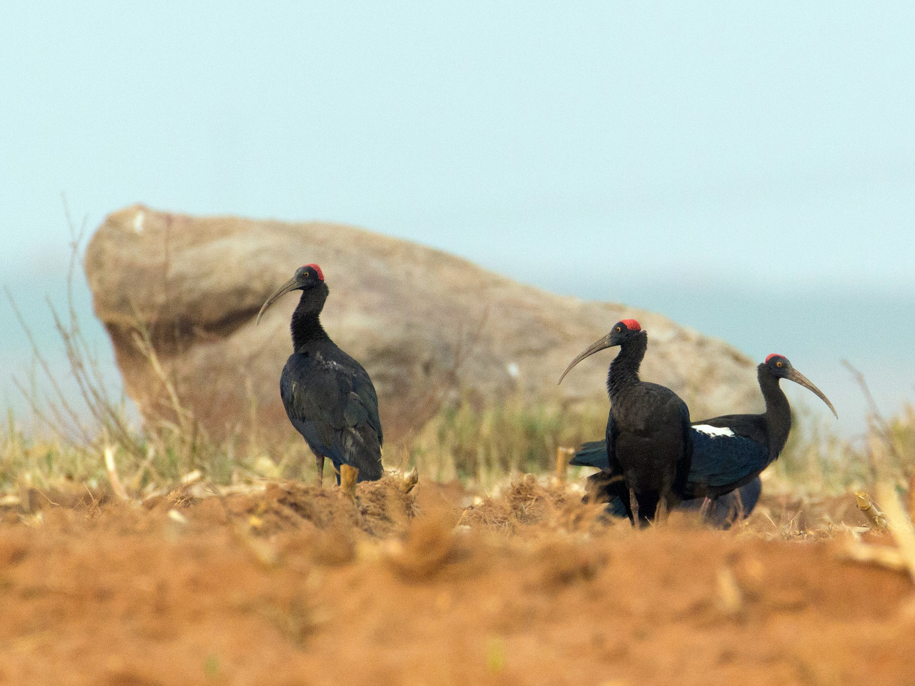 Red-naped Ibis - Adithya Bhat