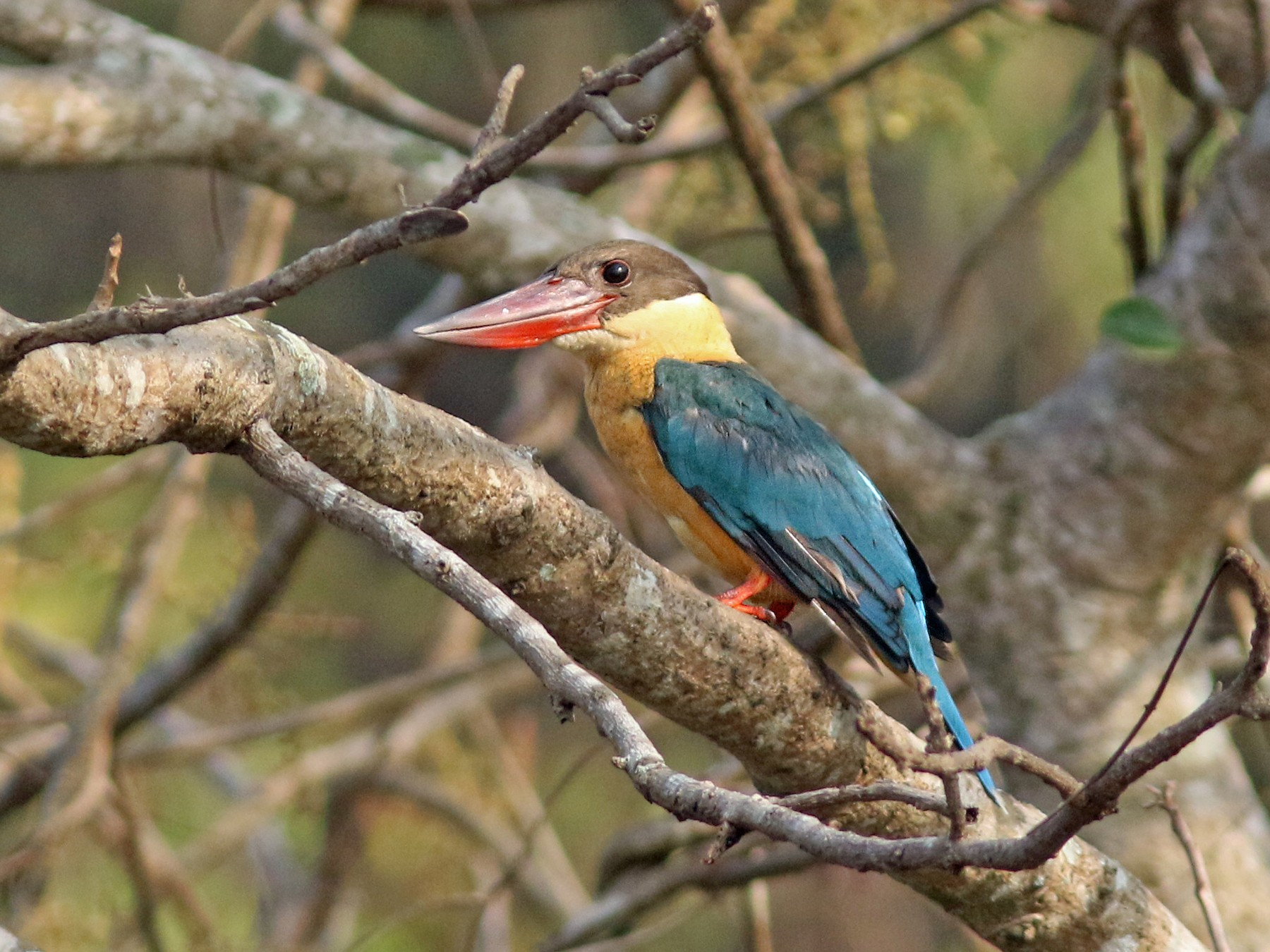 Stork-billed Kingfisher - Andy Warr
