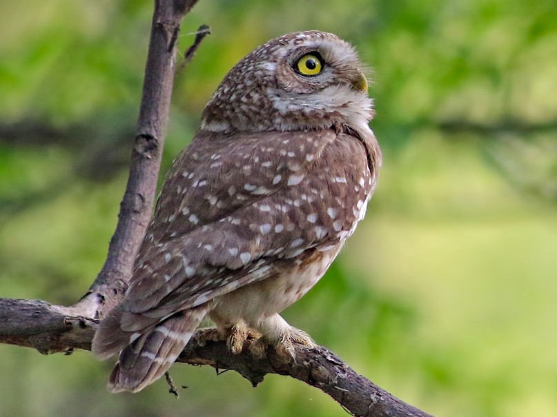 Spotted Owlet - Kavi Nanda