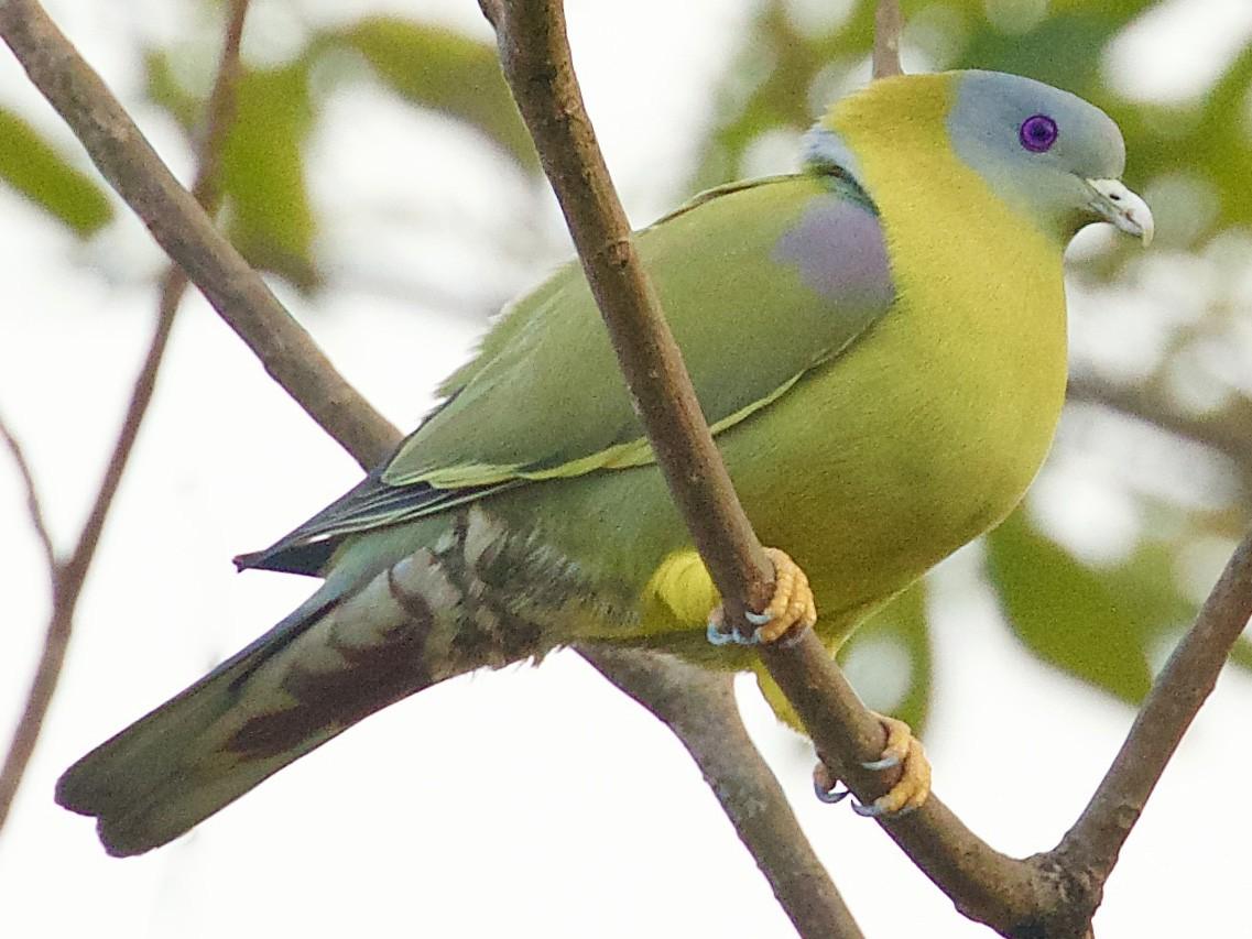 Yellow-footed Green-Pigeon - Vaijayanti Gadgil