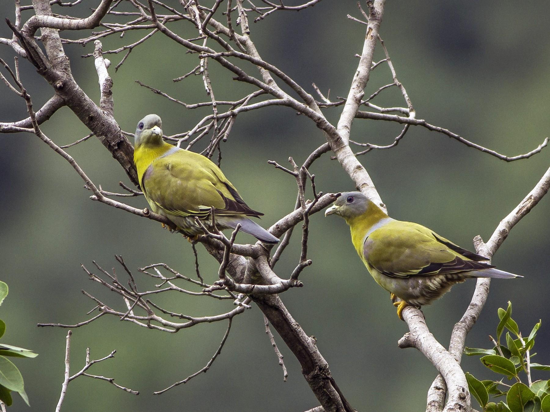 Yellow-footed Green-Pigeon - Manoj Kumar Vittapu