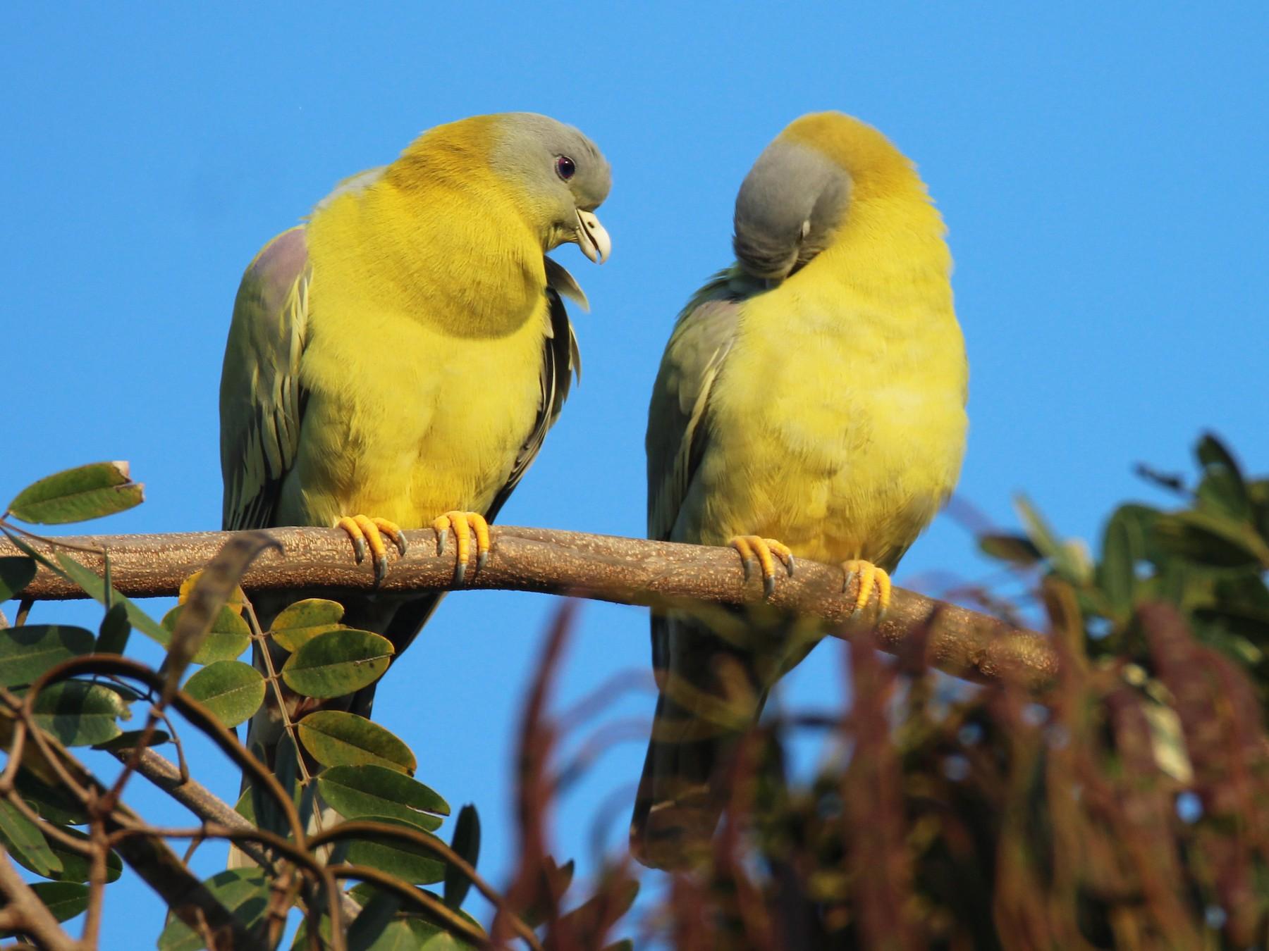 Yellow-footed Green-Pigeon - Praveen  Kumar