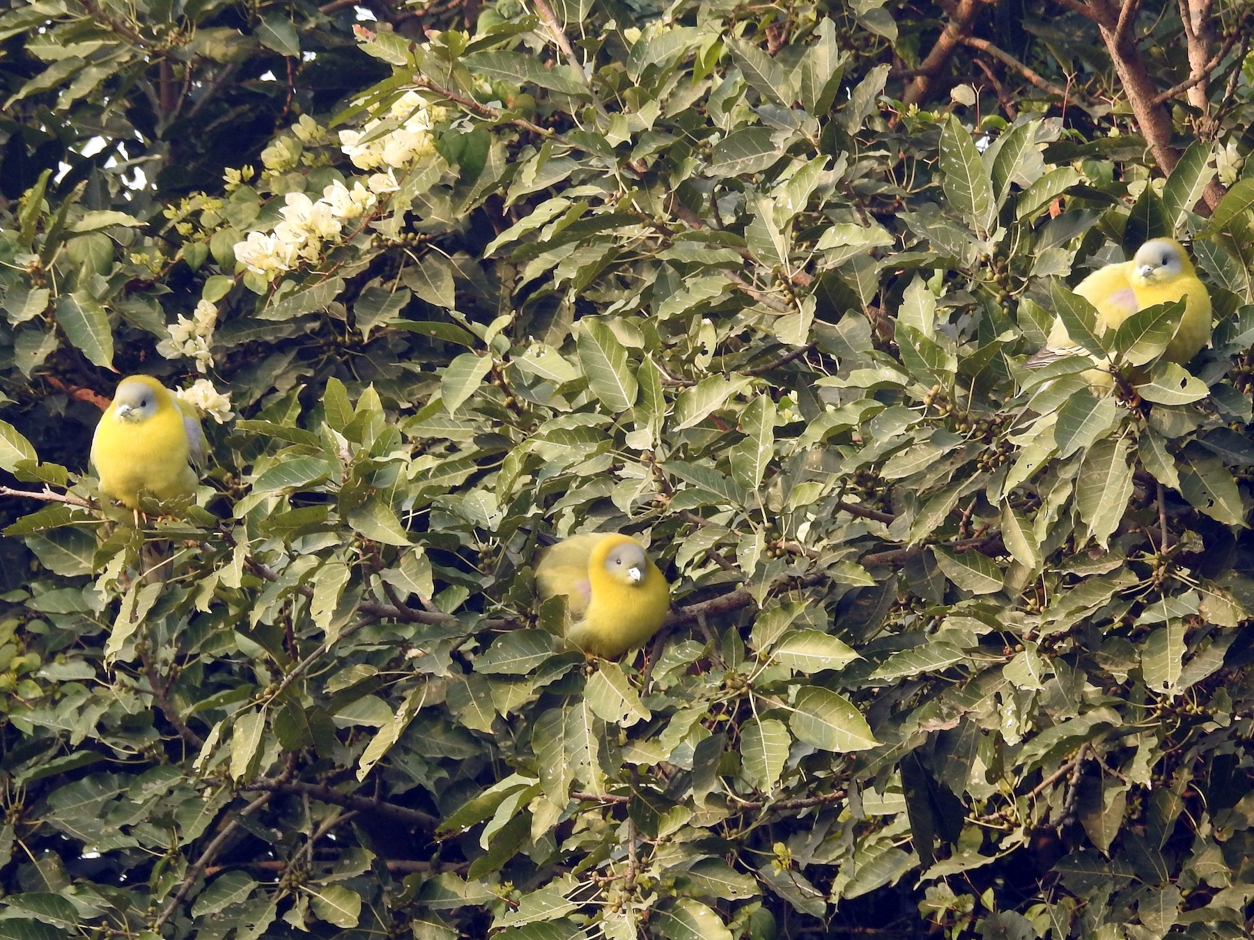 Yellow-footed Green-Pigeon - Sita Susarla