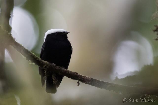 White-crowned Manakin male (presumed subspecies <em>bolivari</em>)