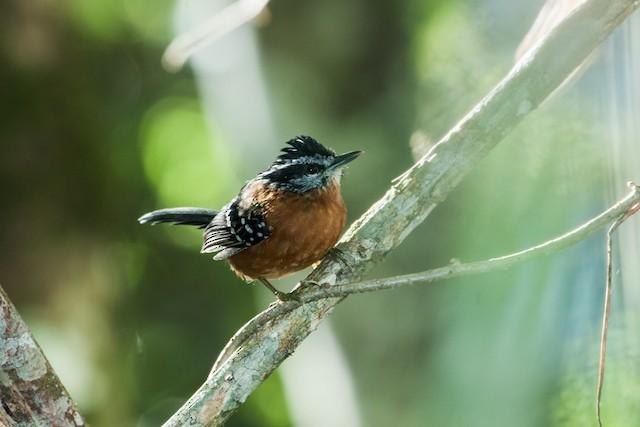 Ferruginous Antbird