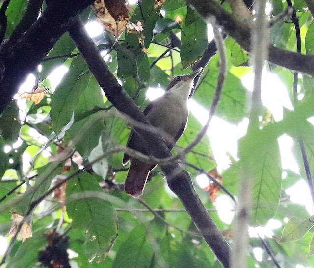 White-eyed Foliage-gleaner