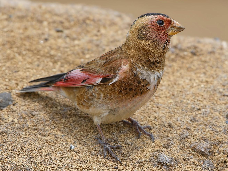 Crimson-winged Finch - Mustafa Özdemir