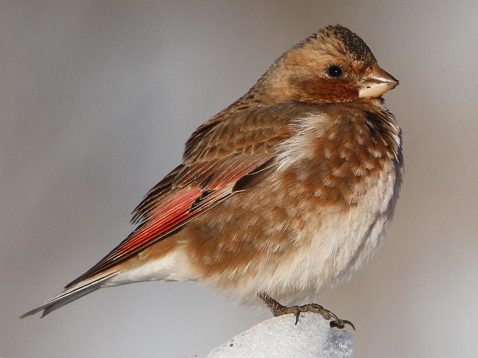 Crimson-winged Finch - Christoph Moning