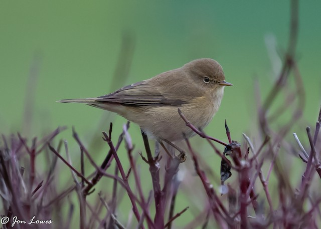 Common Chiffchaff (Common)