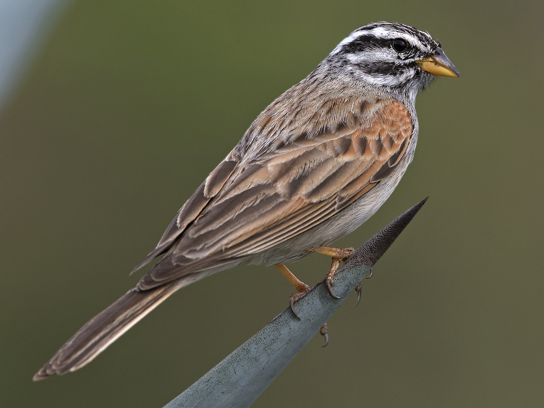 Striolated Bunting - Swapnil Thatte