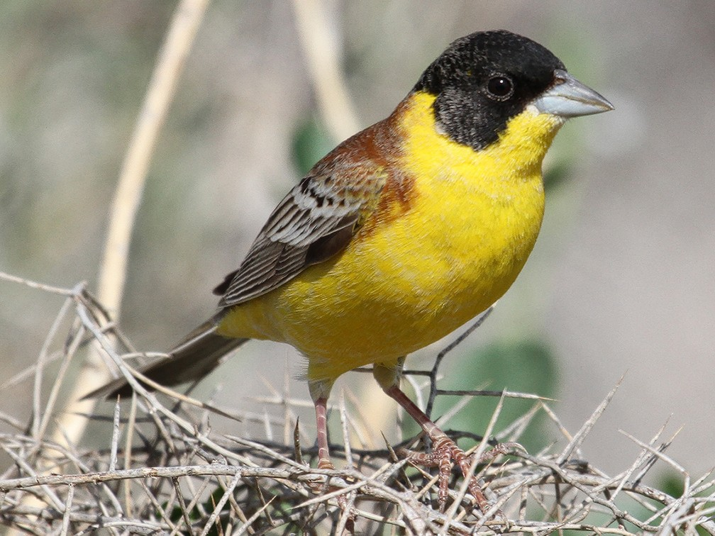 Black-headed Bunting - Asghar Mohammadi Nasrabadi