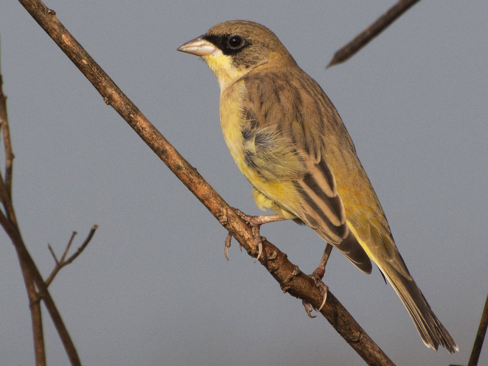 Black-headed Bunting - samarendra Chowdhury