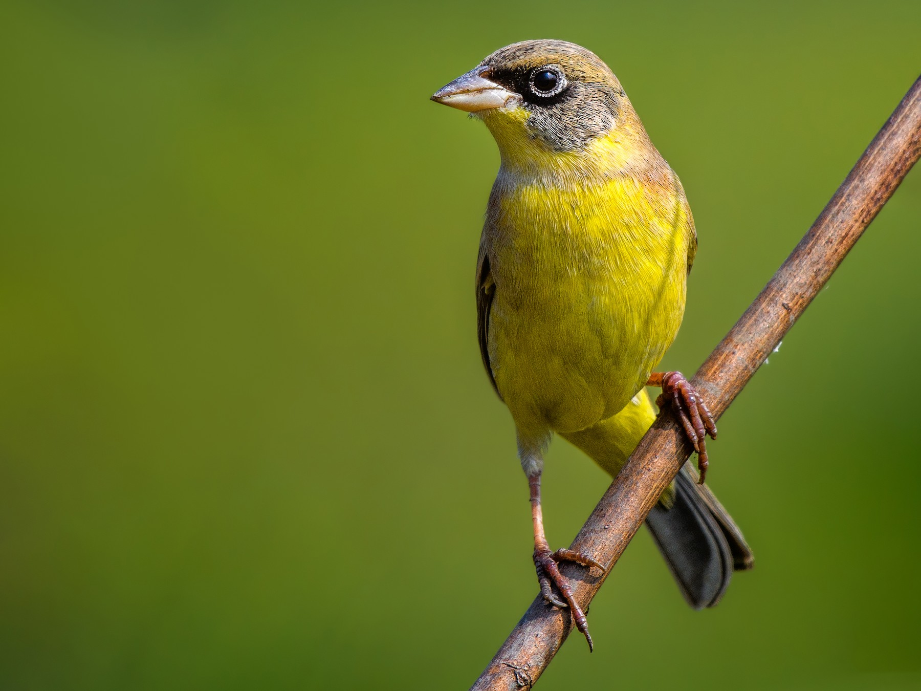 Black-headed Bunting - Abhishek Das