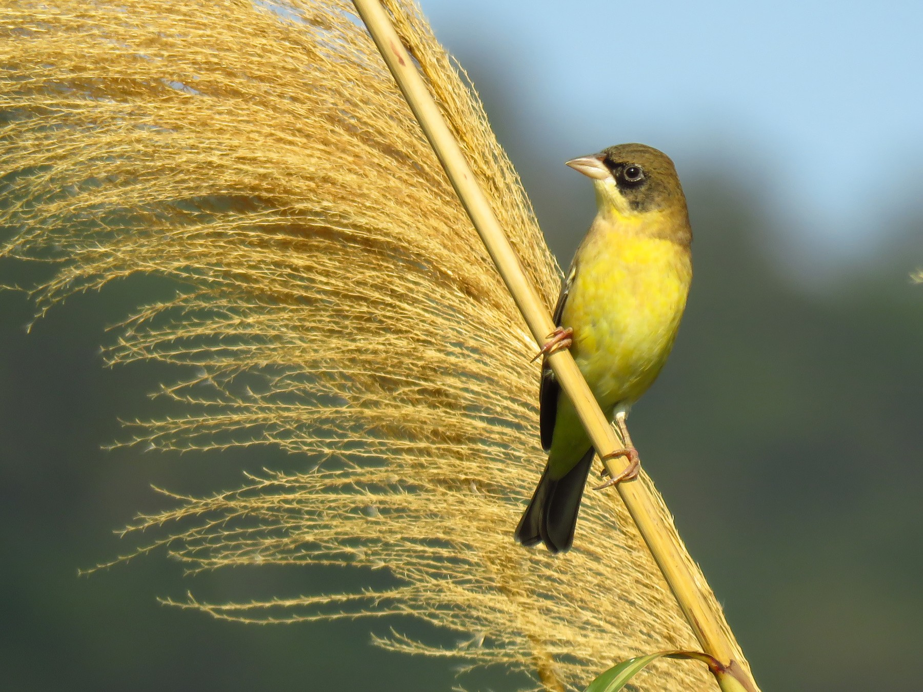 Black-headed Bunting - Po-Wei Chi