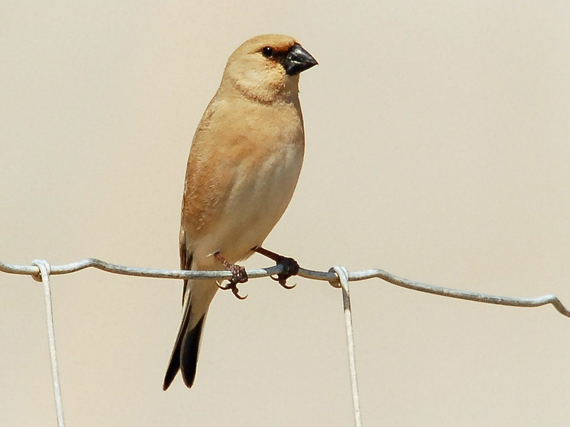 Desert Finch - Markus Craig
