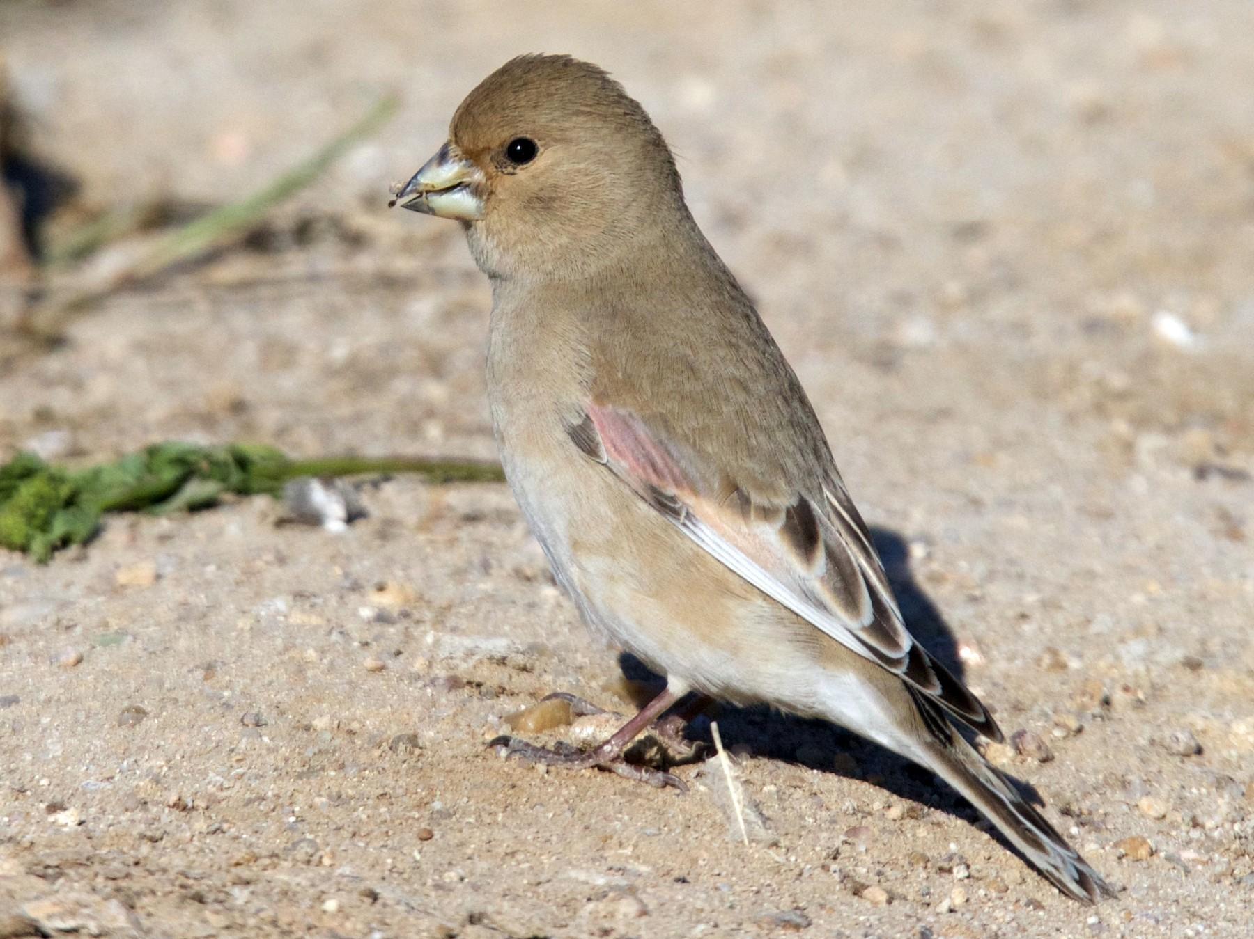 Desert Finch - Hamad Bouresli
