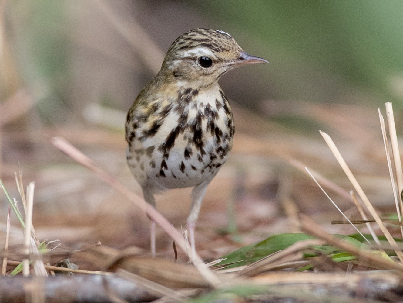 Olive-backed Pipit - Ian Davies