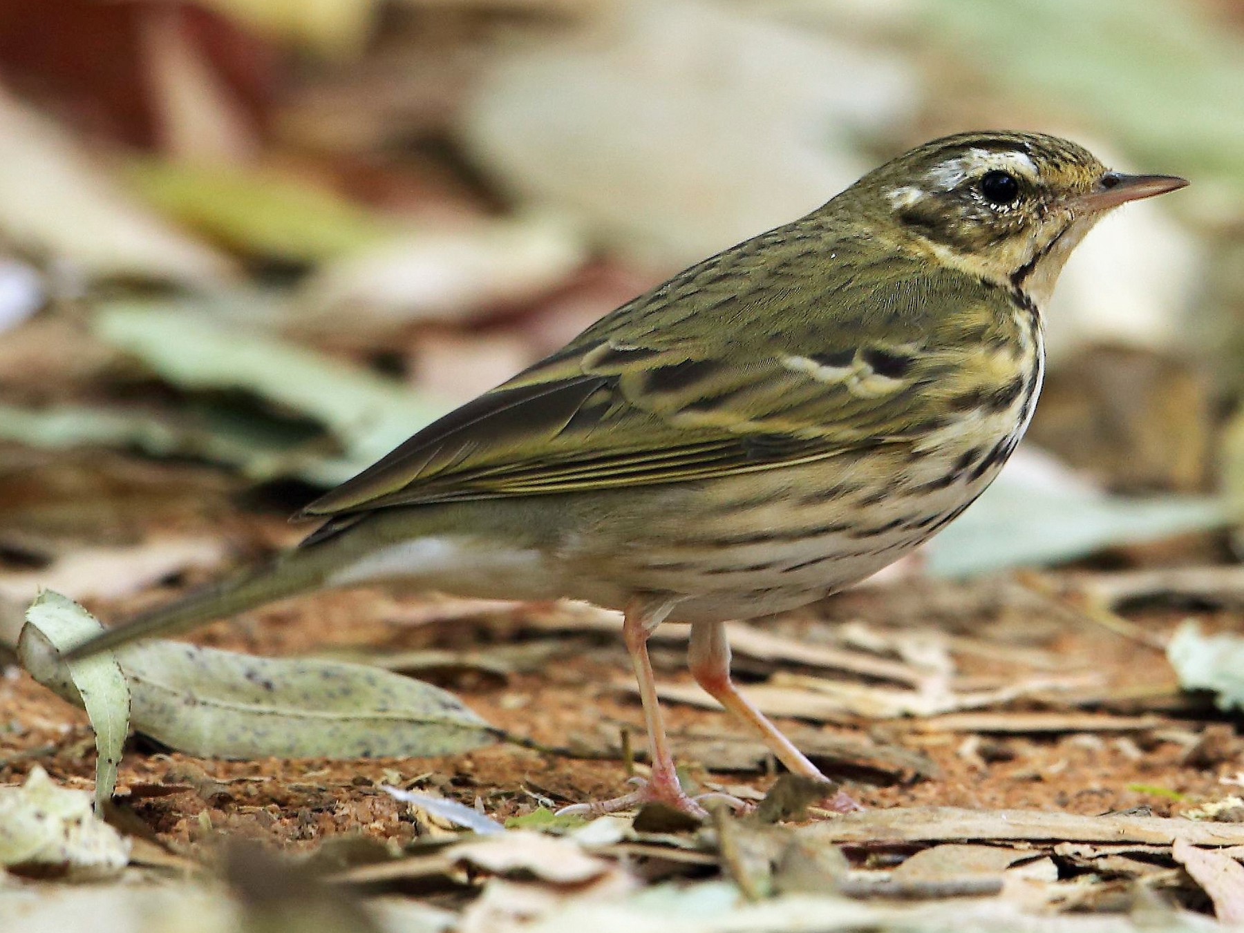 Olive-backed Pipit - Albin Jacob