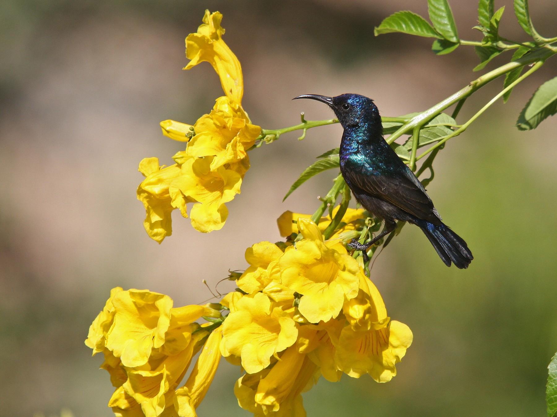 Palestine Sunbird - Christoph Moning