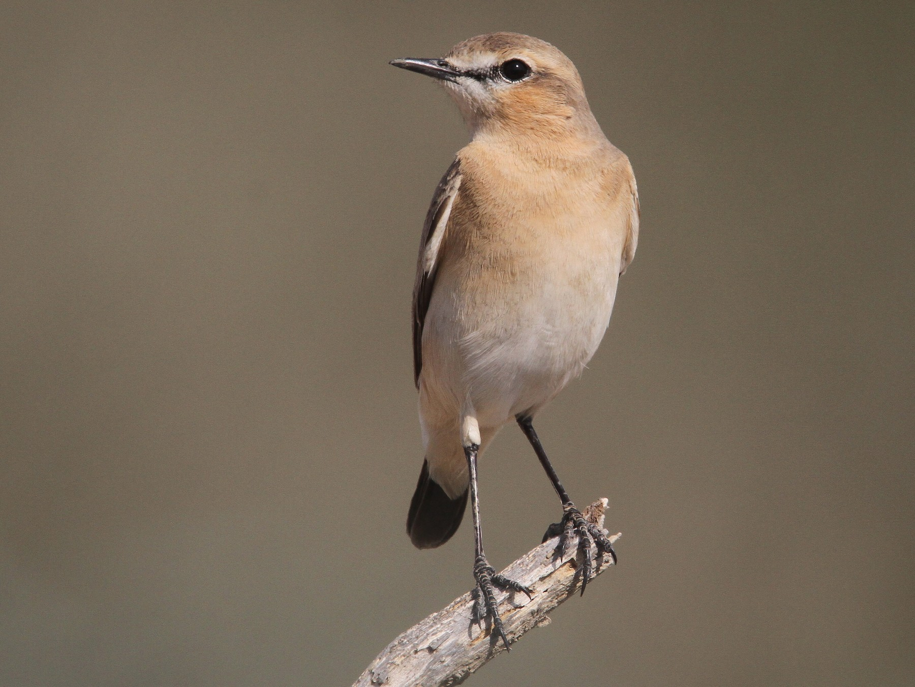 Isabelline Wheatear - Clive Temple