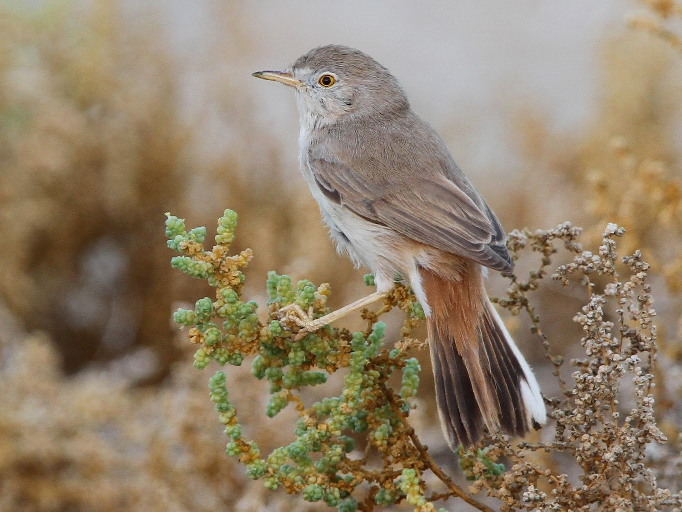 Asian Desert Warbler - Christoph Moning