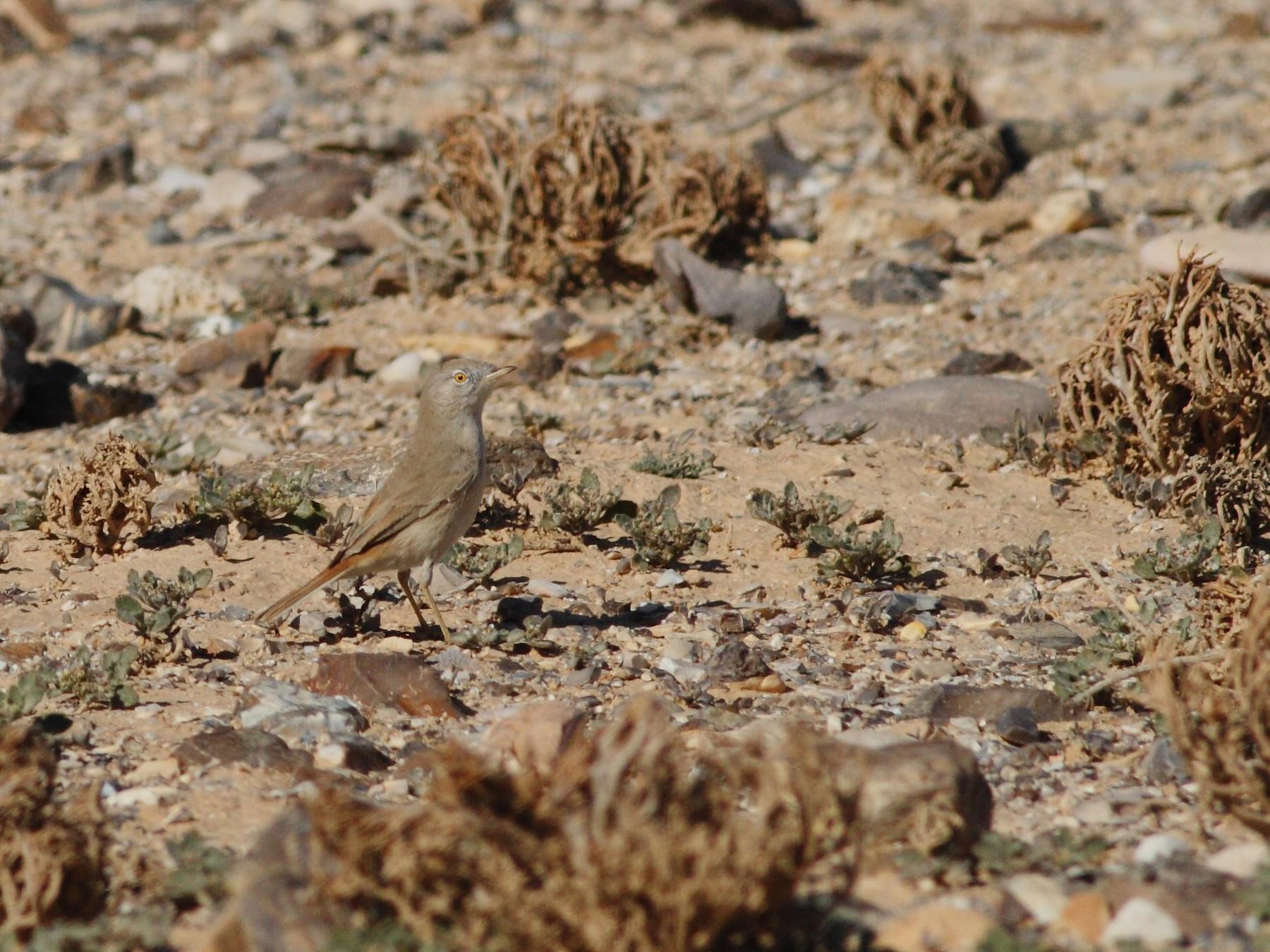 Asian Desert Warbler - Ohad Sherer