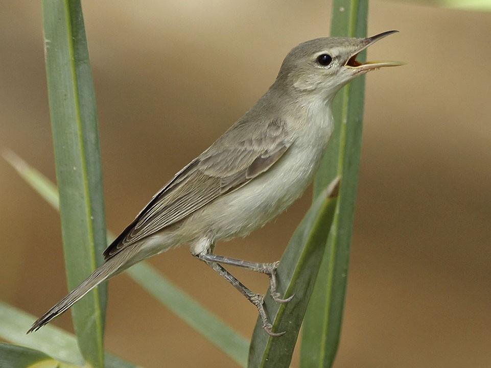 Eastern Olivaceous Warbler - Jens Eriksen