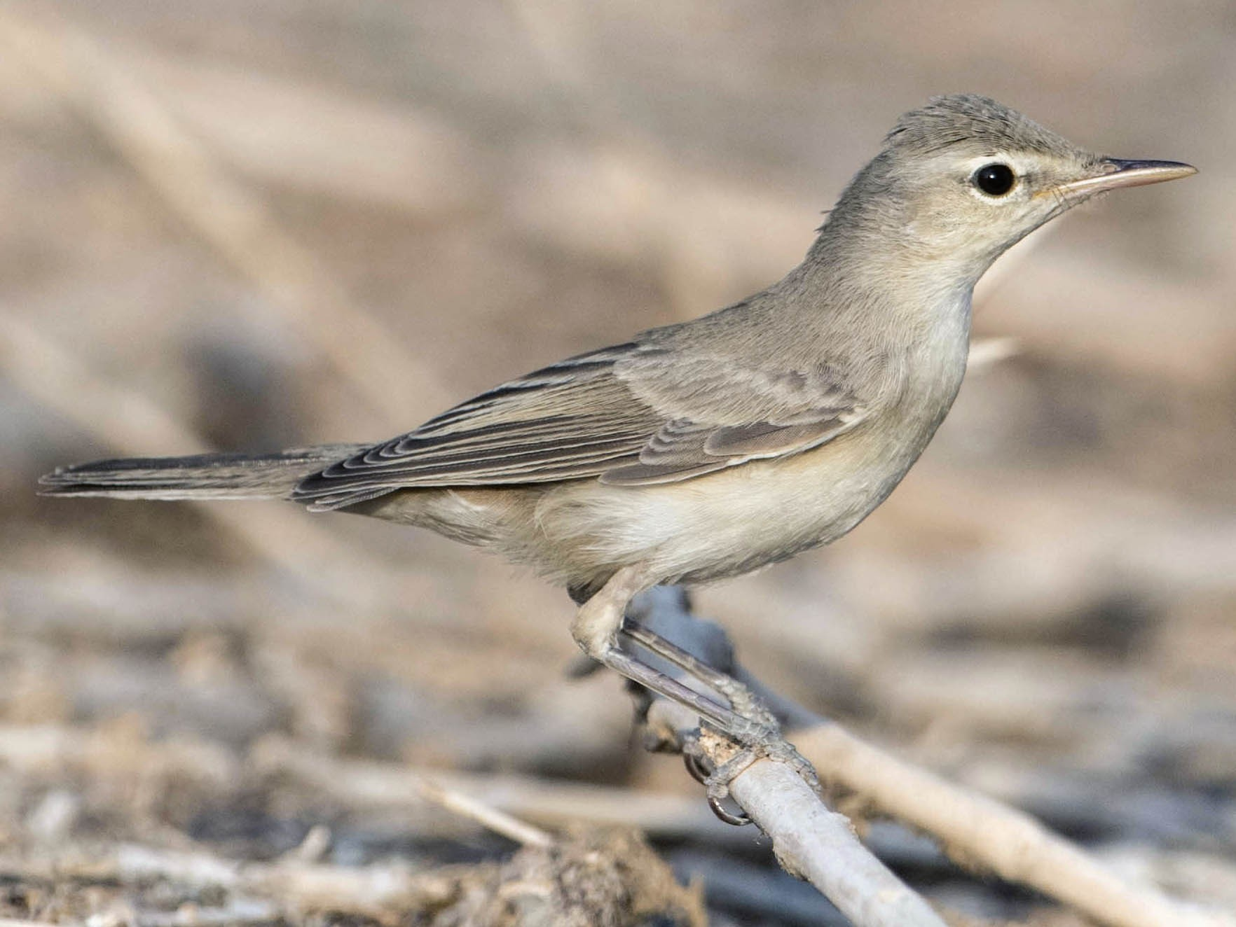 Eastern Olivaceous Warbler - Huw Roberts