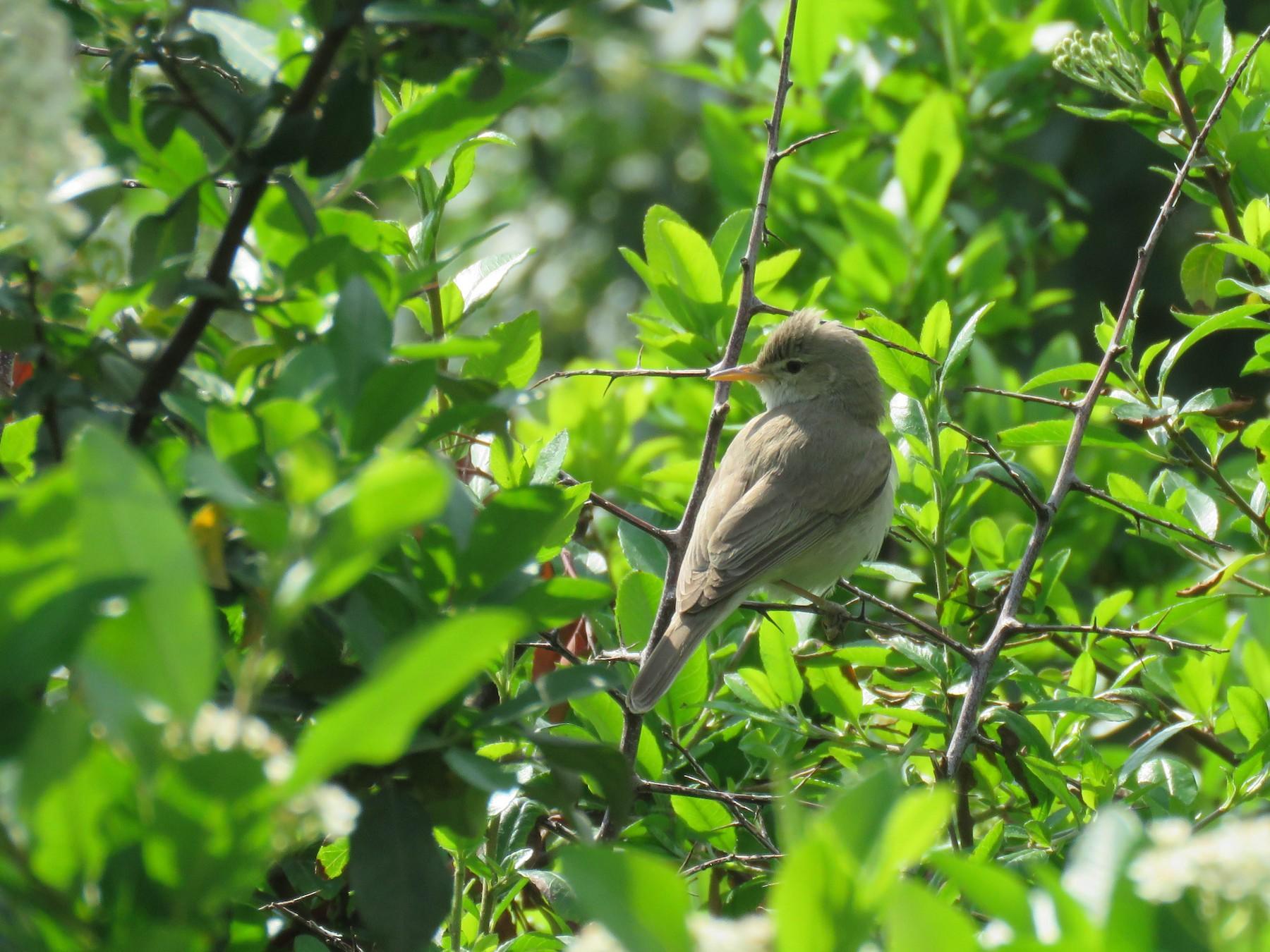 Eastern Olivaceous Warbler - Houman Doroudi