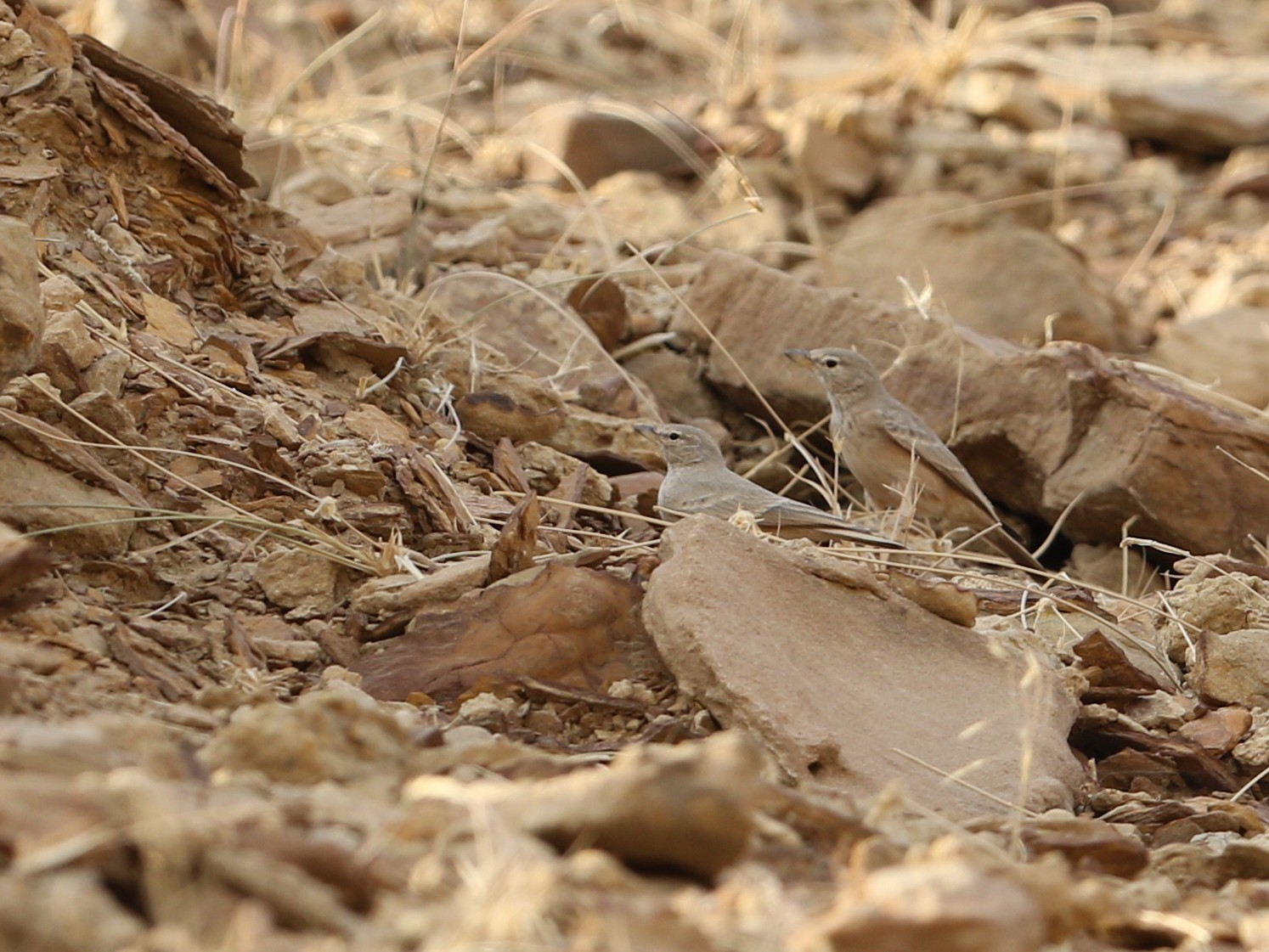 Desert Lark - Gaurang Bagda