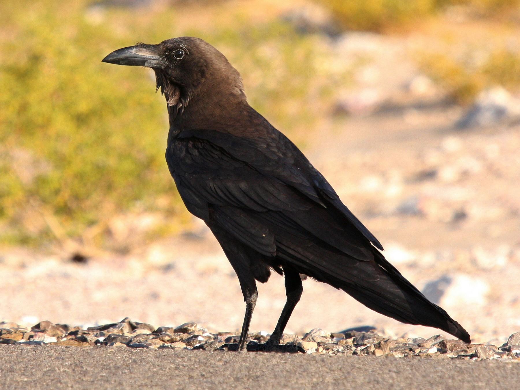Brown-necked Raven - Christoph Moning