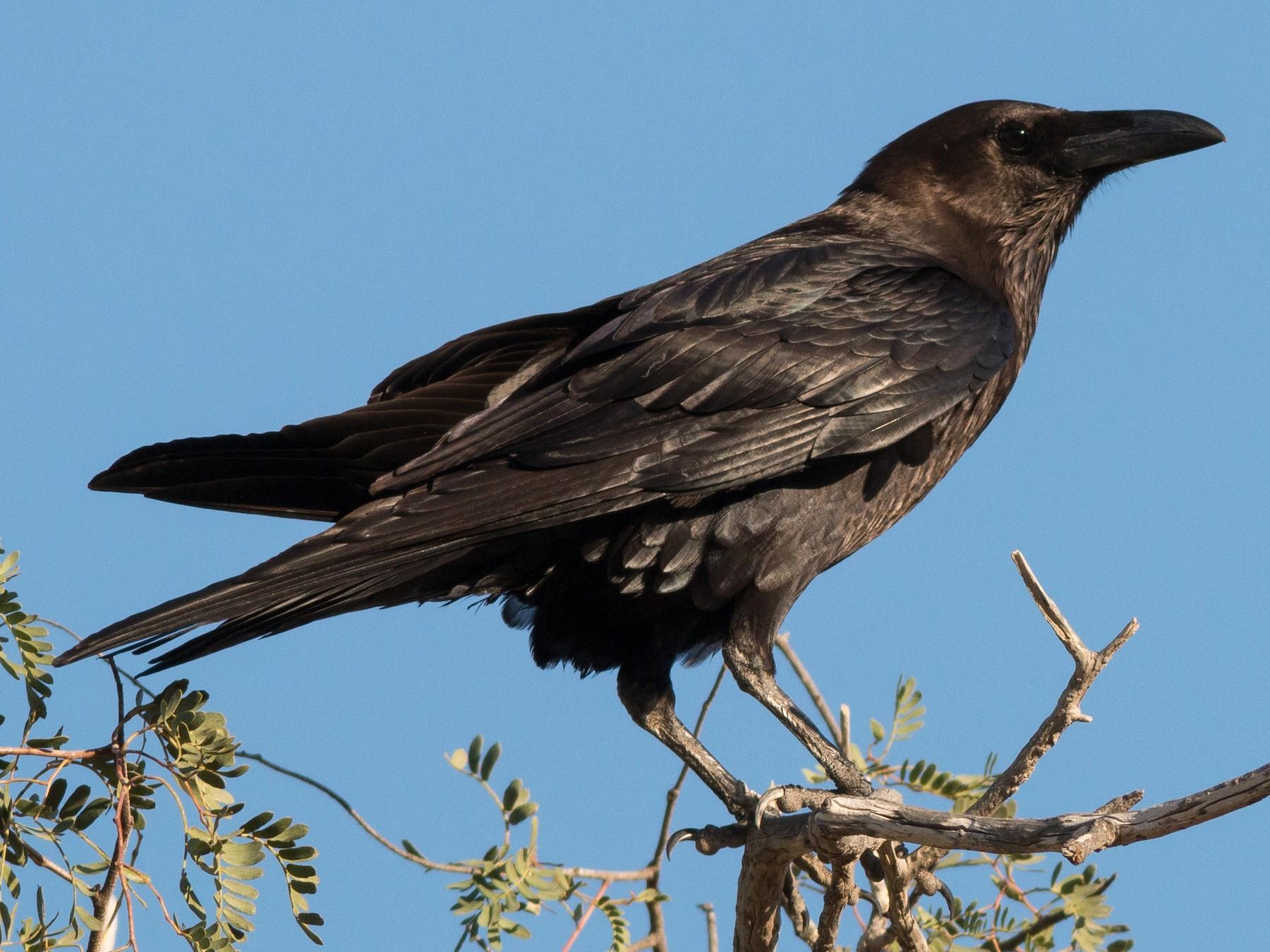 Brown-necked Raven - Markus Craig