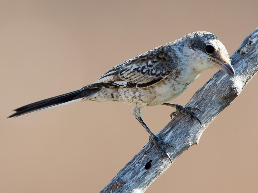 Masked Shrike - Otto Samwald