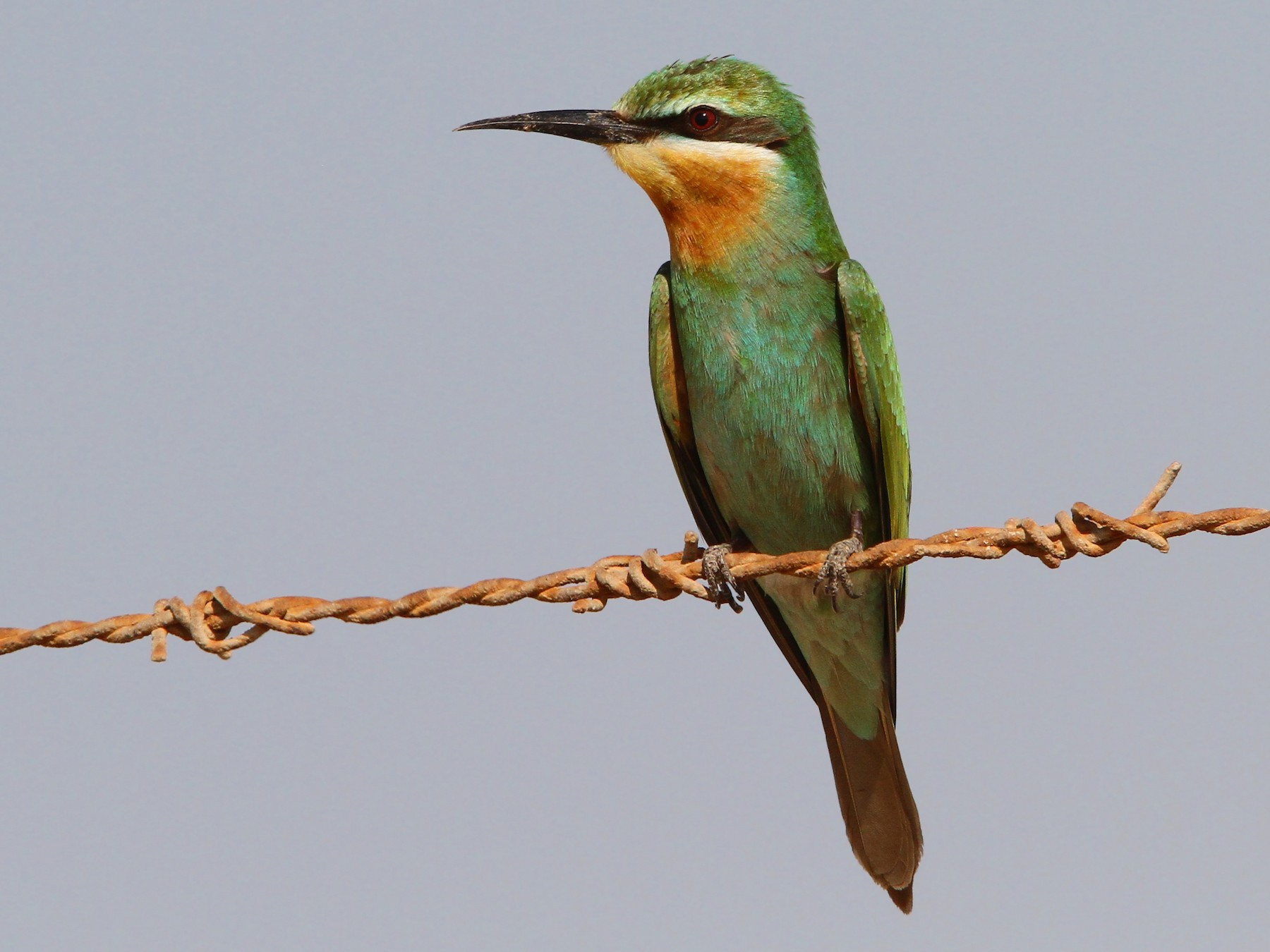 Blue-cheeked Bee-eater - Christoph Moning