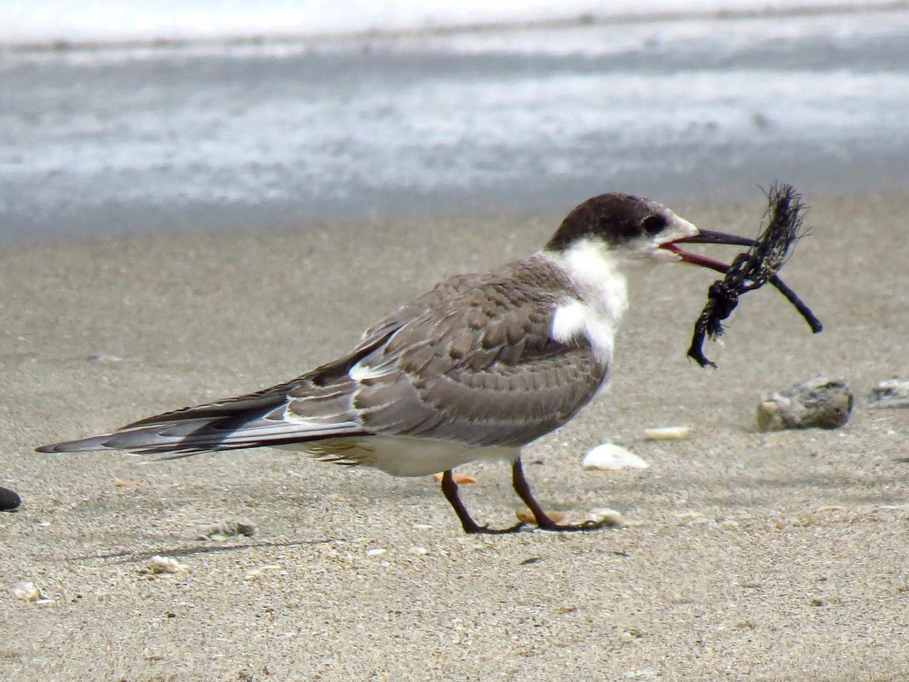 White-cheeked Tern - Mark Smiles