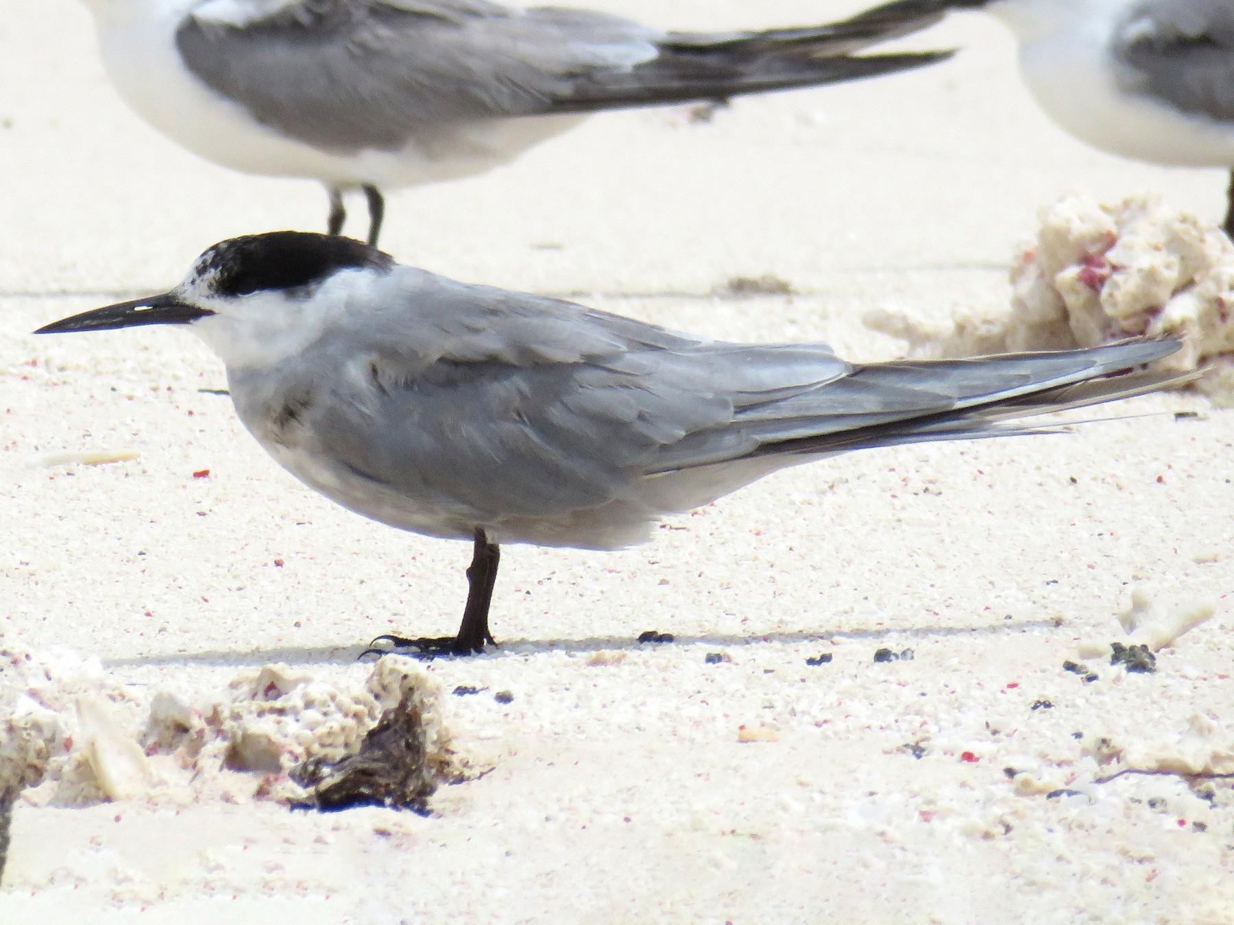 White-cheeked Tern - Miguel  Berkemeier