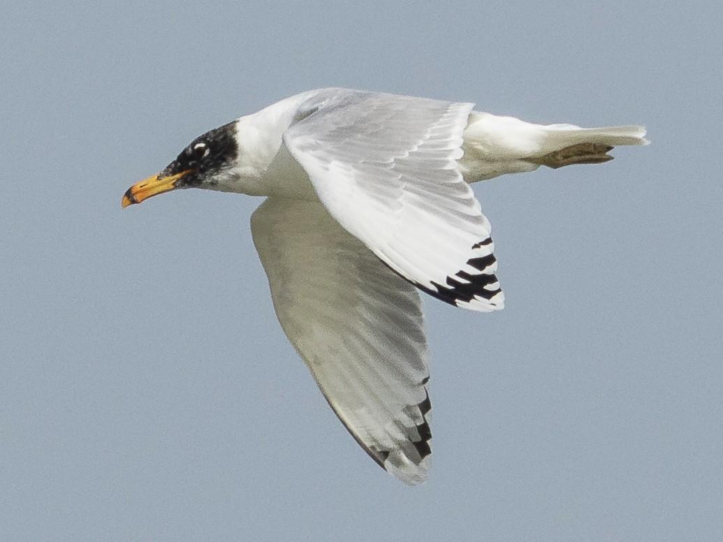 Pallas's Gull - Markus Craig