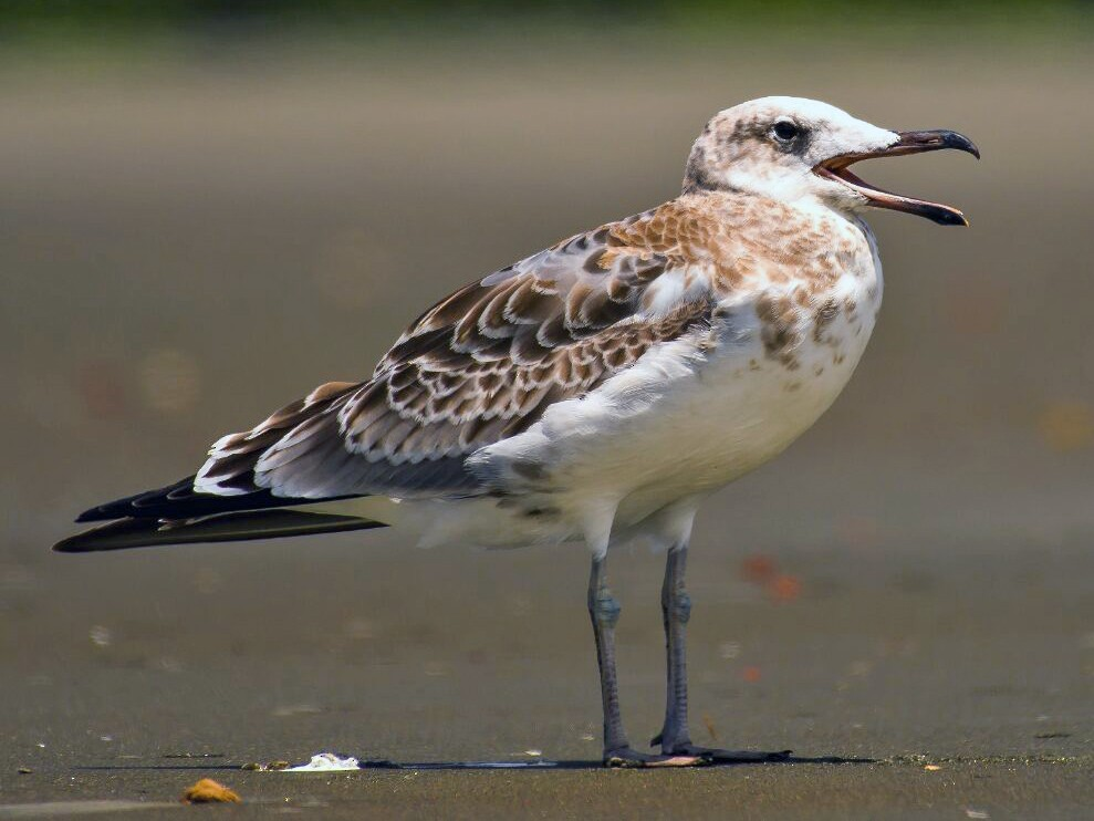 Pallas's Gull - Biswanath Mondal