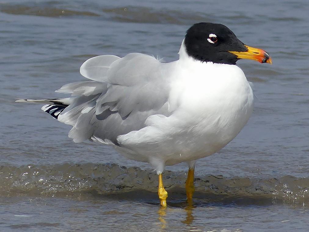 Pallas's Gull - Stephen Menzie