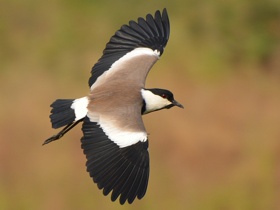Spur-winged Lapwing - Henry Cook