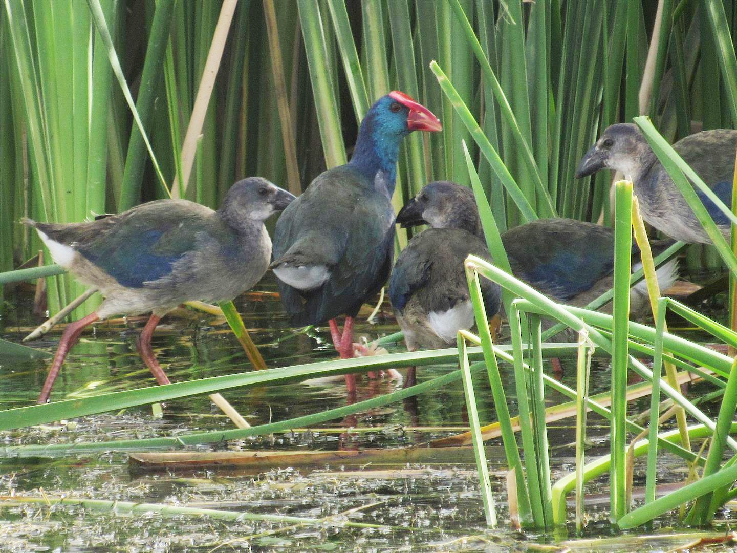 African Swamphen - Robert Tovey