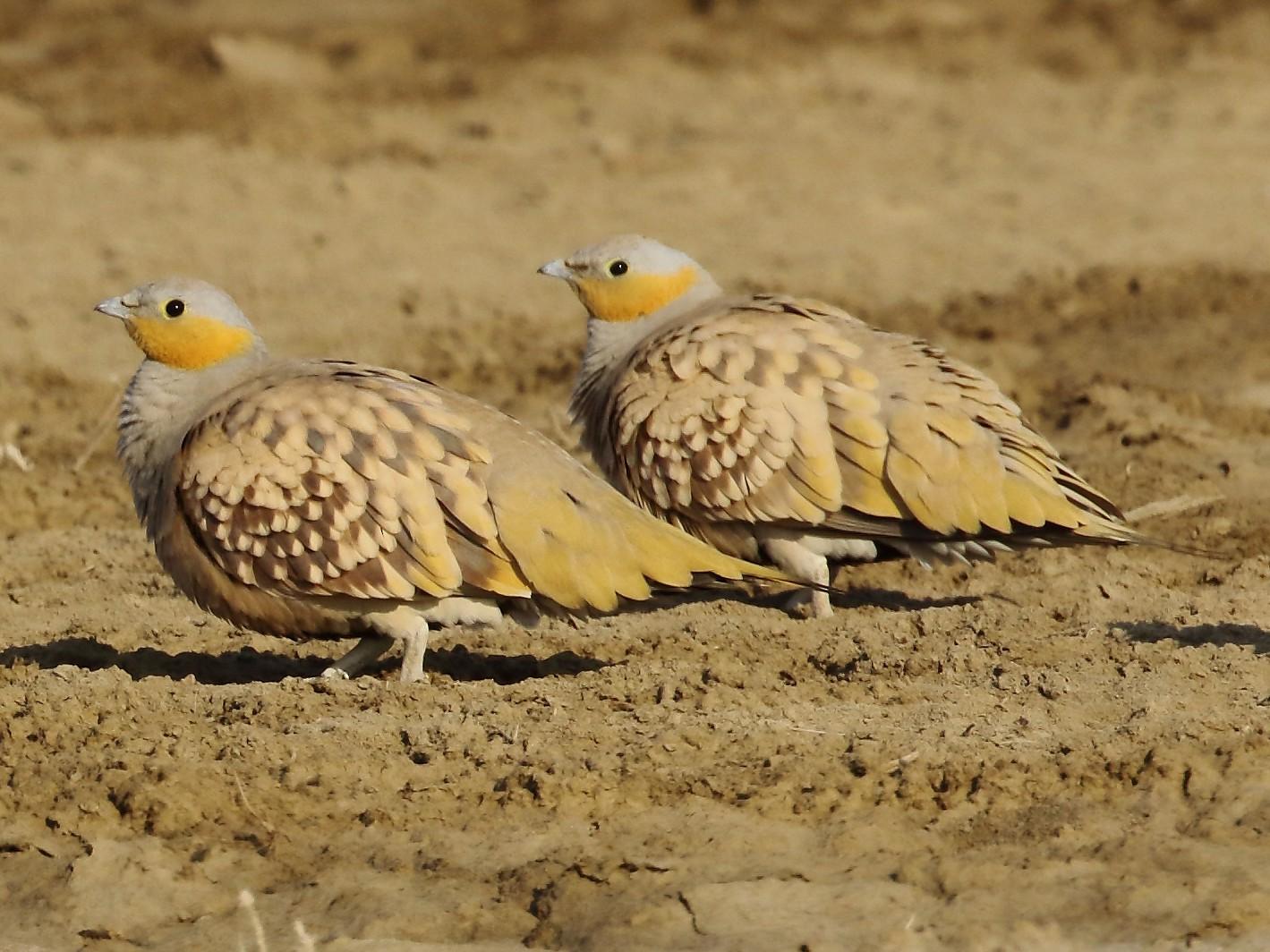 Spotted Sandgrouse - Rahul  Singh