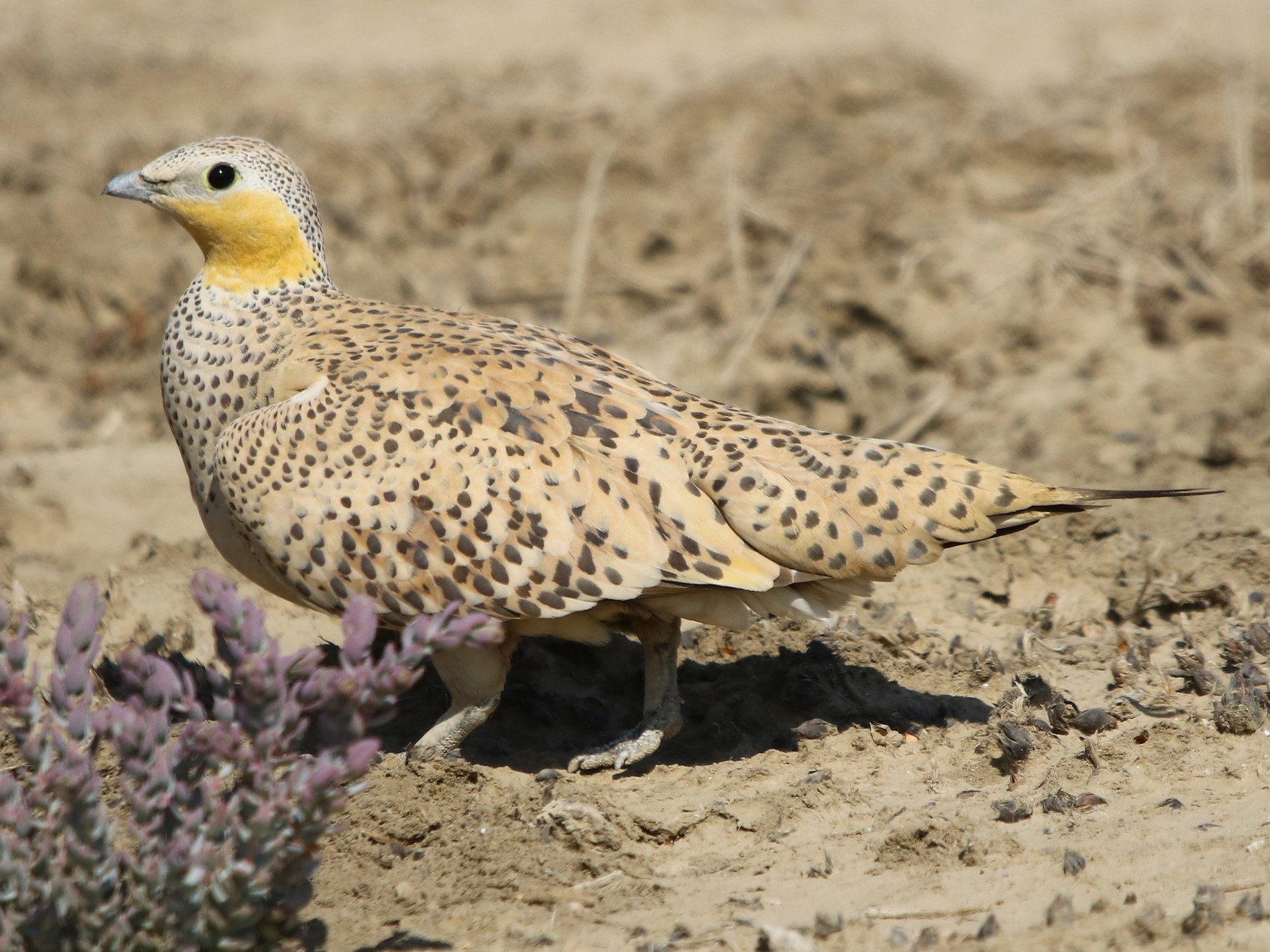 Spotted Sandgrouse - Bhaarat Vyas