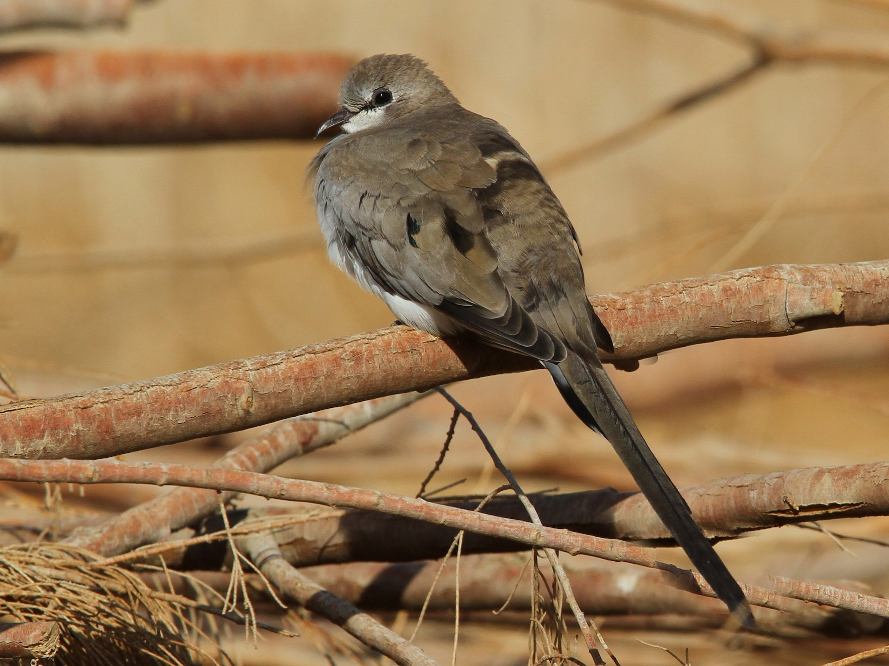 Namaqua Dove - Christoph Moning
